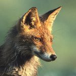 """""""J'aime les renards !"""", la nouvelle action de l'ASPAS pour les enfants"""